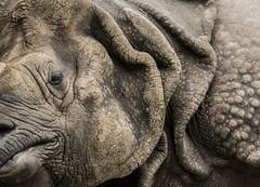 Rinoceronte (seguicollar) Tags: virginiasegu rinoceronte zoo madrid nikond5200 airelibre cabeza hocico pliegues piel fragmento animal cuadrpedo mamfero placentario perisodctilo