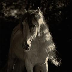Jasminero (me*voil) Tags: portrait horse stallion andalusian jasminero