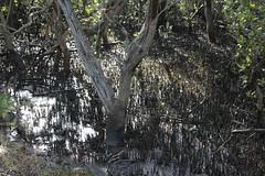 SOP-040716-012 (alison.klein) Tags: wetlands mangroves sydneyolympicpark