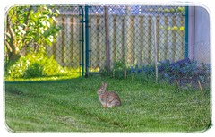 The Other Side of the Fence #HFF (Note-ables by Lynn) Tags: rabbit bunny gardens outdoors fences