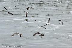 IMG_8615 (menno.vanboxtel) Tags: gulls ameland meeuwen