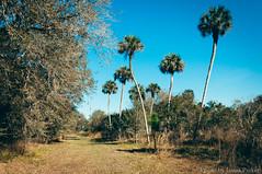 Seminole Ranch (corran105) Tags: wild sky sun color nature sunshine rural landscape florida outdoor hiking country scenic bluesky palm trail palmtree naturalbeauty polarizer brevard stjohnsriver centralflorida tealsky vsco seminoleranch floridahikes vscofilm