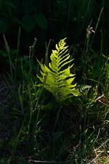 _DSC8626.jpg (newminaswilders) Tags: ca canada nature leaves novascotia portjoli