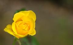 Rosa Amarilla - Volna-3 (Julin Martn Jimeno) Tags: parque espaa rose mediumformat flora nikon bokeh rosa asturias soviet isabel kiev gijon lentes lenses kiev88 analogic 2016 isabellacatolica volna volna3 oldlenses sovieticas d7000 lentessovieticas