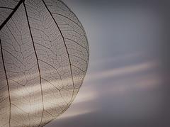Morning Light by Simon & His Camera (Simon & His Camera) Tags: autumn light abstract macro texture nature lines leaf pattern organic minimalism minimalist simonandhiscamera