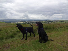 Hounds On The Moor (popmanstensgaard) Tags: dog dogs labrador moor blacklabrador baildonmoor