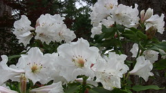 Rhododendron 'Polar Bear' (mikekincaid) Tags: landscape landscaping rhododendron rhododendrons rhododendrongarden rhodys rhodies rhododendronnursery rhododendronpolarbear