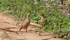 partridge (zahoor-salmi) Tags: camera pakistan macro nature birds animals canon lens photo tv google flickr natural action wildlife watch bbc punjab wwf salmi walpapers chanals discovry beutty bhalwal zahoorsalmi thewonderfulworldofbirds blinkagain
