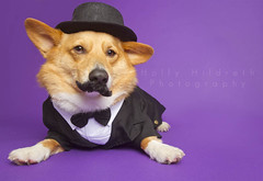 Stoli Mustache you a Question (hhildrethphoto) Tags: pink columbus ohio usa pets dogs halloween hat smiling animals portraits canon puppy studio pembroke happy photography costume corgi funny humorous purple angle top background wide tie suit tuxedo bow stoli welsh mustache tux stolichnaya 1635mm canon7d hollyhildreth