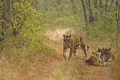 ADS_000036466 (dickysingh) Tags: wild cats india color nature face animal closeup forest stripes wildlife mother jungle tigers cubs habitat bigcats rajasthan ranthambore ranthambhorenationalpark wwwranthambhorecom