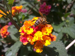 Bee on the Flower (Tunazone) Tags: pink flowers trees red orange plants sun sunlight plant flower macro reflection tree green eye animal yellow landscape daylight photo eyes sony sonyericsson bluesky line mersin makro brightness animalplanet iek yeil vivaz brillant krmz pembe turuncu u5i tunazone