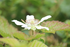 IMG_1850 (armadil) Tags: flowers blackberries ggnra moripoint moript
