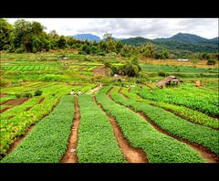 ...Near Luangphrabang (scrabble.) Tags: laos sowingseeds green luangphrabang agriculture landscape lao asian asia field crop farm plant row harvest farming growth grow farmland growing countryside vegetable agricultural