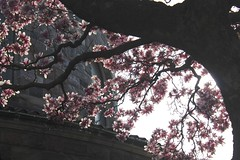 Magnolias Arching Over the Church (marylea) Tags: pink flowers catholic michigan blossoms may annarbor magnolia catholicchurch blooms 2013 stthomasaa stthomastheapostlecatholicchurch