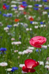 Poppy (houroumono) Tags: papaver centaureacyanus   shirleypoppy