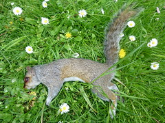 Dead squirrel (John Steedman) Tags: uk greatbritain england london church dead squirrel unitedkingdom stannes limehouse grossbritannien     grandebretagne stanneschurch