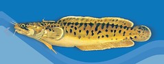 Shore Rockling (UNDP in Europe and Central Asia) Tags: fish blacksea marinelife europeandcis