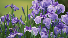 42-25344618 (L Mnh Hng) Tags: iris june japan outdoors tokyo asia purple many group nobody daytime eastasia honshu japaneseiris closeupview kantoregion groupofobjects largegroupofobjects prefectures