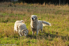 searching for mice (corinna1411) Tags: pets dogs goldenretriever nikon hunde haustiere d300 nikond300