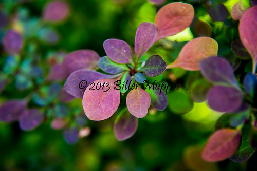 Rose Glow Japanese Barberry - 1