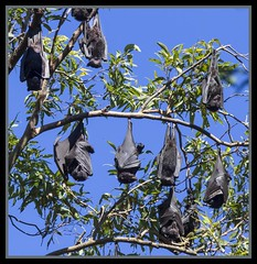 Redcliffe Fruit Bat Colony-01= (Sheba_Also) Tags: fruit bat redcliffe colony