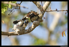 Whitebrowedfantailfeeding (ayeshasitara) Tags: india bird feeding chicks tamilnadu flycatcher fantail masinagudi mudumalai whitebrowed