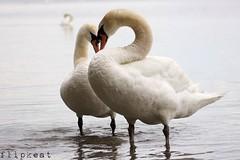 Love In The Afternoon (flipkeat) Tags: love nature birds closeup outdoors wildlife swans mississauga mute avian cygnus olour dslra500