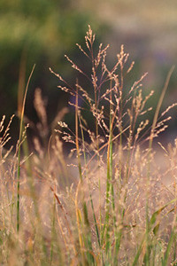 Photo - Switchgrass