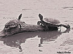 Two Red Eared Sliders In Turtle Pond Central Park (nrhodesphotos(the_eye_of_the_moment)) Tags: nyc blackandwhite bw reflection nature water animal silhouette pond log manhattan turtles turtlepond animallife redearedsliders nrhodesphotosyahoocom wwwflickrcomphotostheeyeofthemoment dsc5064001nhr