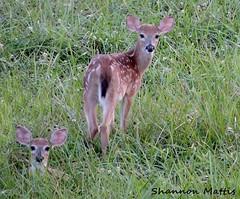 DSCN6527 Fawn (shannon4462) Tags: two twins nikon babies deer fawn grazing p510