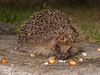 hedgehog (Neil Phillips) Tags: mammal european hedgehog common mammalia europaeus erinaceus erinaceuseuropaeus erinaceinae europeanhedgehog commonhedgehog