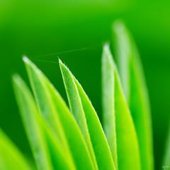 A spider's thread (Ron Jansen - EyeSeeLight Photography) Tags: detail macro green thread spider leaf bokeh fresh leafs threat lupine tamronspaf90mmf28 ronjansen