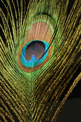 Peacock Feather (Brian Chase Photography) Tags: feather peacock colourful