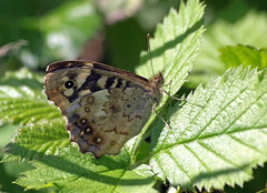 Speckled wood (Mr Grimesdale) Tags: butterfly butterflies speckledwood stevewallace britishbutterflies mrgrimesdale