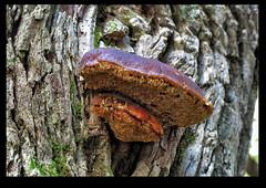 Fungi sp (gadims) Tags: fungi lane wellington tasmania bracken range ferntree