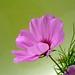 Heath flower near window