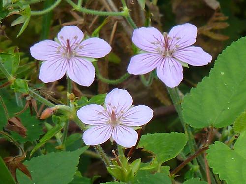 新治市民の森のタチフウロ(Flower, Niiharu Community Woods, Yokohama, Japan)