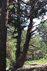 Sendero de los Abuelos del Bosque (Historia de Covaleda) Tags: españa spain paisaje musica deporte laguna soria historia gentes lagunanegra tradicion micologia urbion covaleda