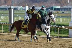 2012-11-16 (28) r1 Geovaney Garcia on #4 My Dear Mabel (JLeeFleenor) Tags: horses caballo cheval photography md photos uma maryland cal jockey horseracing jinete cavallo cavalo pferd equestrian kuda alogo equine hest thoroughbreds soos hevonen cuddy paard cavall kon koin laurelpark  jokey fantino hst ceffyl  jquei  ko faras hestur  perd ngi thoroughbredracing  konj    capall beygir yarraman dokej rennreiter  pfeerd marylandhorseracing marylandracing   okej kilparatsastaja jocheu     vision:people=099 vision:face=099