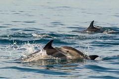 Gibraltar dolphins (pstani) Tags: animal dolphin gibraltar peterstaniforth pstani