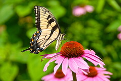 Glorious day in the Garden! (ineedathis, the older I get, the more fun I have!) Tags: pink summer orange black flower nature beauty yellow butterfly garden insect wings eyes echinacea bokeh coneflower antennae easterntigerswallowtail proboscis butterflygarden nikond80 papilloglaucus