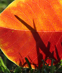 Leaf and Shadow (philipbouchard) Tags: california autumn red orange color fall yellow leaf fallen mountainview euphorbiaceae sapiumsebiferum rengstorffpark chinesetallowtree triadicasebifera