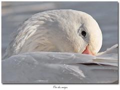 Oie des neiges / Snow Goose IMG_4171 (salmo52) Tags: birds oiseaux victoriaville oiedesneiges snowgoosechencaerulescens réservoirbeaudet salmo52 alaincharette