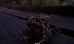 Mr. American Toad (Bufo americanus), Champaign County, Ohio (Peter Kleinhenz11) Tags: county ohio american toad champaign survey bufo americanus herpetological