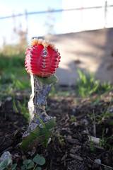 DSC08222 (quiquecamacho) Tags: cactus plant flower garden community san francisco hill potrero graft