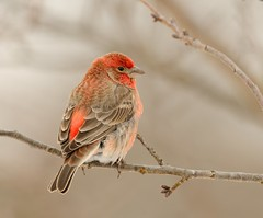 House Finch (snooker2009) Tags: winter red house bird fall nature outdoors wildlife small finch getty migration thewonderfulworldofbirds dailynaturetnc13