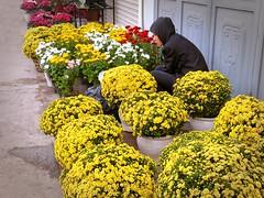 Hanoi . Flower vendor reverie (Marco Sarli) Tags: life street flower colour girl yellow lumix sitting candid diagonal vietnam bunches hood hanoi vases daydreaming reverie
