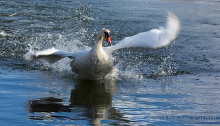J77A9958 -- A Mute Swan taking off in Le Vésinet