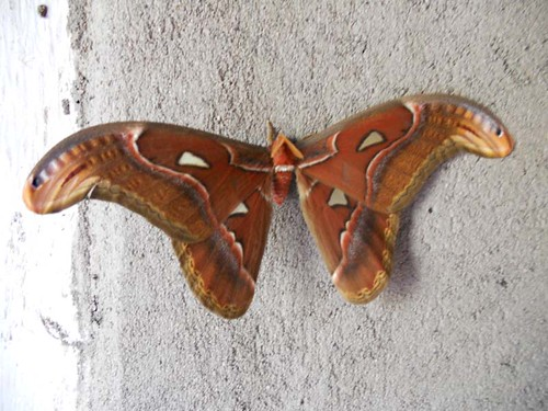 """attacus atlas spotted at jade munnar • <a style=""""font-size:0.8em;"""" href=""""http://www.flickr.com/photos/119251693@N05/12903197504/"""" target=""""_blank"""">View on Flickr</a>"""