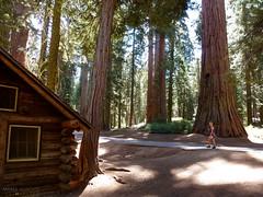 Mariposa Grove of Giant Sequoias - Yosemite National Park, California (Andrea Moscato) Tags: wood trees usa tree green museum alberi america us unitedstates sequoia giantsequoias legno bosco statiuniti wawona giganti andreamoscato